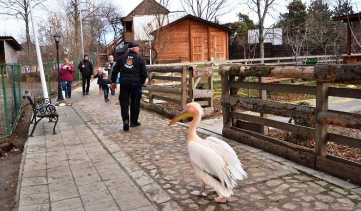 Pelicanul Costică era nedespărțit de prietenul său, paznicul Gheorghe Nadolu (aflat cu spatele), care îl însoțea mereu în plimbările sale prin Microrezervație