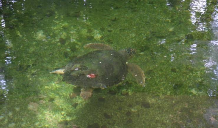 """Țestoasa descoperită face parte din specia """"Caretta Caretta"""" și va rămâne la Delfinariu până când va fi relocată în mediul ei natural"""
