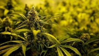 11 kg de cannabis, oprite la frontieră!