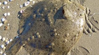 """Cea mai valoroasă specie din Marea Neagră, în atenția specialiștilor de la """"Grigore Antipa"""""""