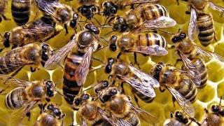Alarmant! Mâncarea cu pesticide creează dependență și la... albine
