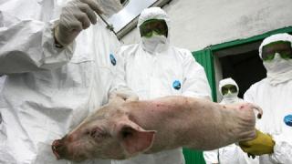 Alertă ANSVSA! Noi focare de pestă porcină la granițele României