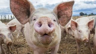 ALERTĂ! Pestă Porcină Africană confirmată într-o nouă localitate!