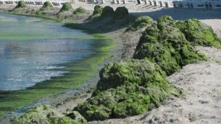 Mormane de alge pe plajele din Mangalia