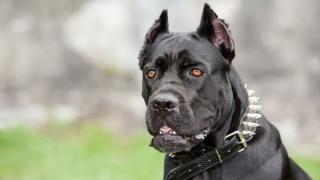 Amenzi usturătoare pentru posesorii de câini de luptă şi de atac