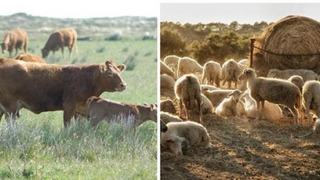APIA plăteşte ajutorul de stat pentru ameliorarea raselor de animale