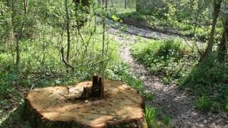 11 persoane acuzate că au furat arbori din Parcul Călimani, arestate
