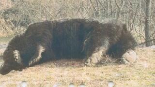 Ursul Arthur împușcat de un prinț austriac într-o arie naturală protejată