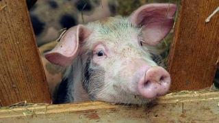 ATENȚIE! Consumul cărnii de porc infestate poate avea consecințe grave!