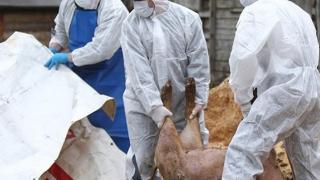 Scandalul pestei porcine: CE a avertizat încă din 2017 autoritățile din România