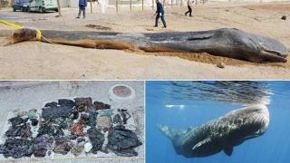 Balenă MOARTĂ după ce a înghițit 8 kg de plastic!