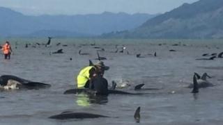 Sute de balene pilot au revenit în larg după ce eșuaseră pe o plajă din Noua Zeelandă