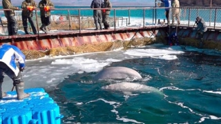 Balene ţinute captive în Rusia au fost eliberate, după un val de proteste