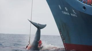 Fără a ține cont de criticile internaționale, Japonia a ucis 333 de balene în Antarctica