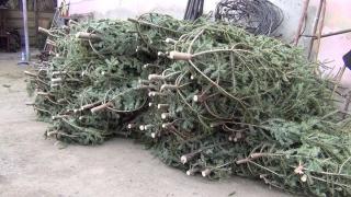 Controale de amploare în domeniul vânzării pomilor de Crăciun