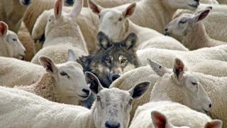 PNL pândește precum lupu' la stână!