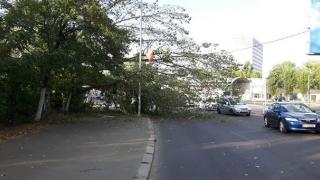 Cad copaci în plină stradă, la Constanța! Ai grijă cum circuli!