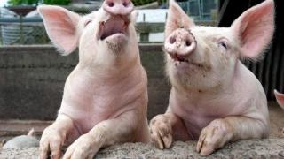 Ajutor de stat pentru agricultorii care depozitează carnea de porc