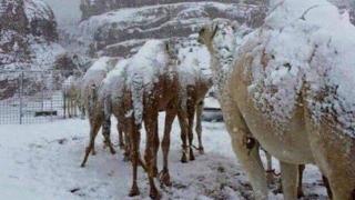 Cămile înzăpezite în deșert, după o ninsoare abundentă