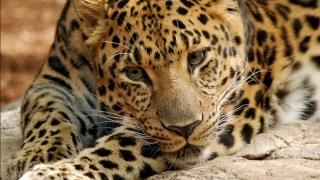 A murit cel mai bătrân leopard din lume
