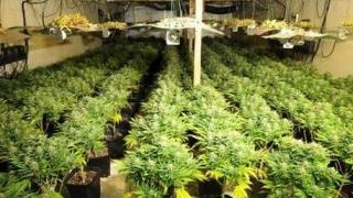 Agricultura..infracțională: Culturi de canabis și preparare de droguri descoperite de DIICOT Constanța