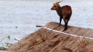 Animale din specii rare, ucise de inundații, într-o rezervație din India