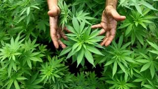 Aproape 7.000 de kilograme de canabis, confiscate de polițiști