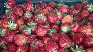 Vremea rece a scumpit căpșunile românești