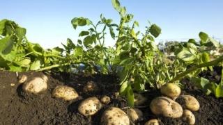 Vezi câţi bani dă APIA pe schemele de sprijin cuplat în sectorul vegetal