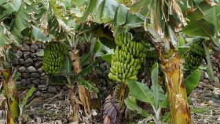 Bananele, pe cale de dispariție! Vezi de ce!