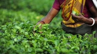 Ceaiul Darjeeling, în pericol! Recolta din acest an se usucă pe dealuri