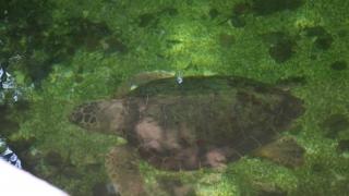 Ce se va întâmpla cu țestoasa rară, găsită în Vadu