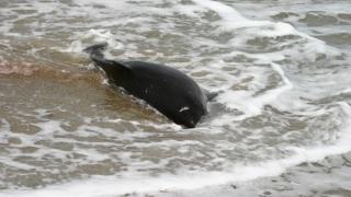 Nu ucideți delfinii eșuați încercând să-i salvați! Chemați specialiștii