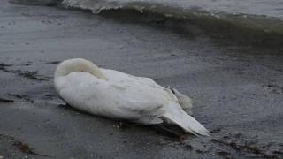 Constanța, cu cele mai multe cazuri de gripă aviară la păsări sălbatice