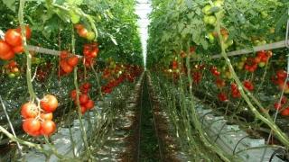 Cum sunt ajutați producătorii de tomate să-și valorifice produsele