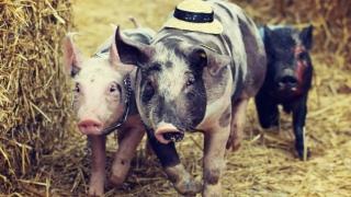 De săptămâna viitoare, bani pentru fermierii crescători de porci