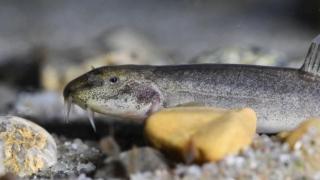 Descoperirea primului pește de peșteră din Europa, confirmată științific