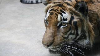 Doar 350 de exemplare de tigri de Indochina rămase în lume! Din cauza oamenilor!