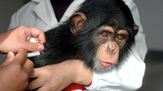 Cercetătorii de la Oxford au dat greş. Vaccinul britanicilor a dus la infectarea a şase maimuţe cu COVID-19
