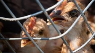 Gripă aviară în județ! Veterinarii au decis uciderea păsărilor!