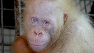 Insulă artificială pentru urangutanul albinos