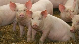 Întâlnire a Task Force pentru pesta porcină africană, organizată de Comisia Europeană