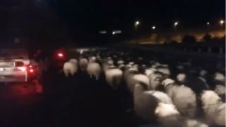 EXCLUSIV. Autostrada Soarelui, blocată două ore de o turmă de oi!