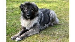 Ciobănescul românesc carpatin, singurul câine național cu pedigree
