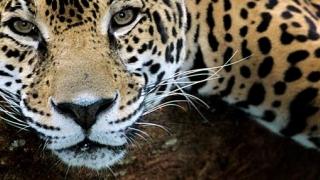 Leopard la școală!