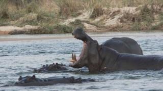 Măcel printre hipopotamii din Africa