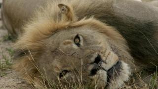 Masacrul continuă! Unul dintre puii leului Cecil, ucis de un vânător de trofee
