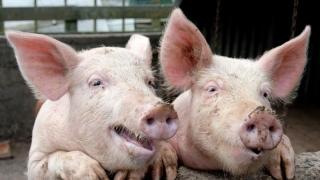 Nu au fost înregistrate cazuri de pestă porcină africană în România