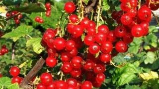 Coacăzele, sursă bogată de vitamine și minerale
