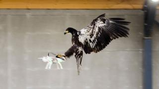 Olanda va folosi vulturi pentru doborârea dronelor civile